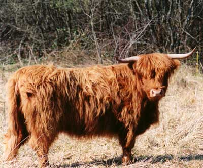 One of our two Highland cows